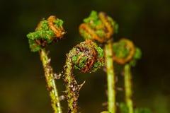 Crosiers of Broad buckler-fern. Coiled fresh young fern fronds, crosiers, of  Broad buckler-fern unfolding in spring Stock Image