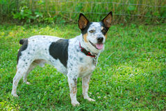 Crosley. Spotted mixed breed dog stands at attention Stock Photography