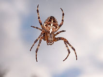 Cross back spider Stock Photography