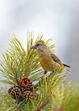 Cross-bill perched in pine tree Royalty Free Stock Image