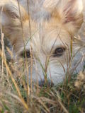 Cross-bred dog with beautiful eyes lying on grass and looking into camera. Close-up of cute dog face in field grass Stock Images