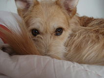 Cross-bred dog with beautiful large eyes lying curled on bed Stock Photo