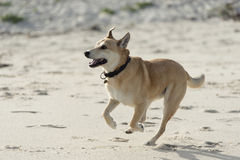 Cross breed brown dog Stock Images