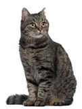 Cross breed cat, 7 months old, sitting Stock Photography
