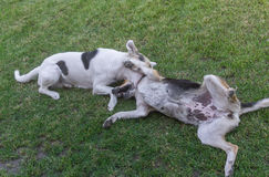 Cross-breed dog bites other dog while playing on a spring grass in park Royalty Free Stock Photo