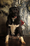 Cross breed dog Royalty Free Stock Image