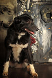 Cross breed dog Royalty Free Stock Photos