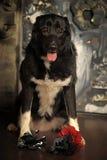 Cross breed dog Royalty Free Stock Photo