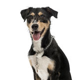 Cross-breed dog isolated on white Stock Image