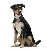 Cross-breed dog isolated on white Stock Photos