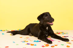 Cross breed dog laying with confetti Stock Images