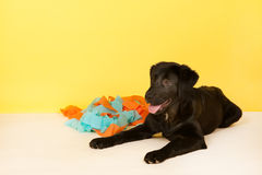 Cross breed dog laying with confetti Royalty Free Stock Photography