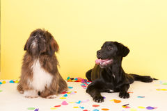 Cross breed dog laying with confetti Stock Photo