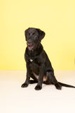 Cross breed dog on yellow background Royalty Free Stock Photo