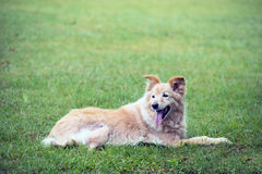 Cross breed golden retriever labrador lying on the grass Royalty Free Stock Photography