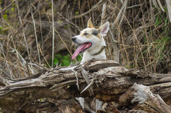 Cross-breed of hunting and northern dog looking out of its favorite place Stock Images