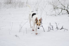 Cross-breed of hunting and northern dog seeking for scent of wild animal Stock Images