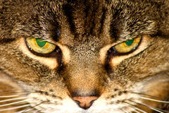 Cross Cats eyes. Intense yellow tabby cross cats eyes detail Stock Images