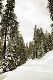 Cross Country Skiing. Tall Trees with fresh snow, Badger Pass, Yosemite National Park Royalty Free Stock Images