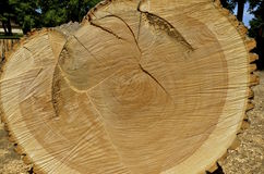 Cross-cut section of an ash tree. A huge old ash tree displays it's age in a cross-cut section stock image