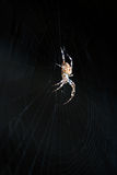 Cross or European spider Stock Photography