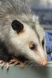 Cross-Eyed Opossum. Close-up of an opossum's face with crossed eyes Stock Photos