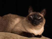 Cross eyed siamese cat. Siamese cat with crossed blue eyes, isolated over black, portrait Royalty Free Stock Image