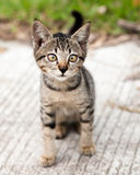 Cross-eyed Tabby Kitten on the Road Stock Photography