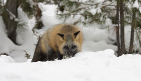 Cross fox hunting for food in deep snow with evergreen trees in Stock Photography