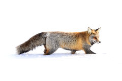 Cross Fox Royalty Free Stock Images