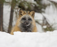 Cross fox portrait in deep snow in winter Stock Photos