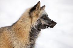 Cross Fox Portrait in Snow. In Montana Stock Photos