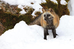 Cross fox standing in snow Stock Image