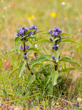Cross Gentian Stock Photography