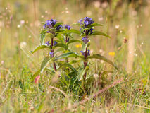 Cross Gentian Stock Images