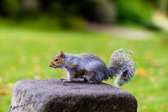 A squirrel stood on a rock Royalty Free Stock Photography