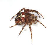 Cross orb weaver (Diadematus araneus) Stock Photo