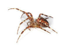 Cross orb weaver (Diadematus araneus) Royalty Free Stock Image