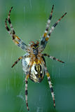 Cross orb weaver (Diadematus araneus) Royalty Free Stock Photo
