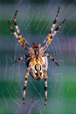 Cross orb weaver  waiting for prey. Stock Images