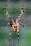 Cross orb weaver  waiting for prey. Stock Photos