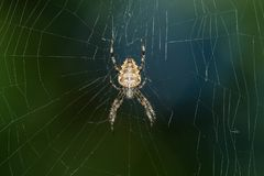 Cross Orbweaver Spider - Araneus diadematus. Female Cross Orbweaver Spider waiting patiently in her web. Also known as a Crowned Orb Weaver, Diadem, European stock photography