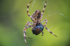 Cross Orbweaver spider macro feeding Royalty Free Stock Images