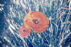 Cross processed retro style poppy flowers Stock Photos