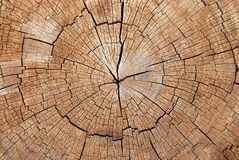 Cross-section. Of the old tree Royalty Free Stock Image