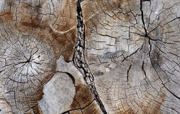 Cross section of ancient hardwood tree Royalty Free Stock Photo