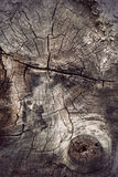 Cross section of ancient hardwood tree Royalty Free Stock Photography