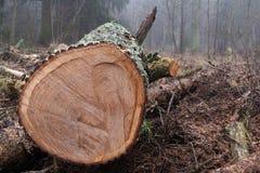 Cross section oak wood texture stock photos