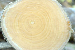 Cross section cut log wood Royalty Free Stock Images