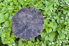 Cross section cut of tree stump surrounded by green leaves background Stock Photo